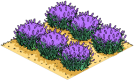 lavendarfield